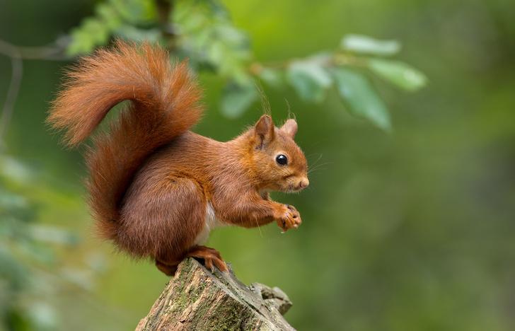 Фото №1 - Зачем белке, лисе, соболю и прочим такой пушистый хвост?