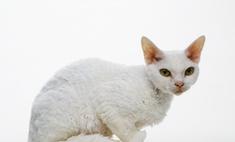 Описание внешних и внутренних качеств кошек породы рекс