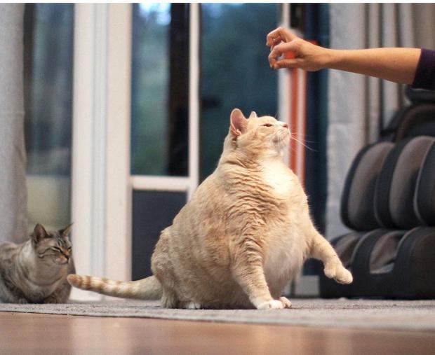Фото №1 - Они смогли— и вы сможете: 12 питомцев до и после похудения