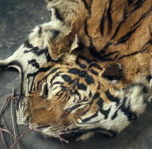 Фото №1 - В Индии ловят охотников на тигров