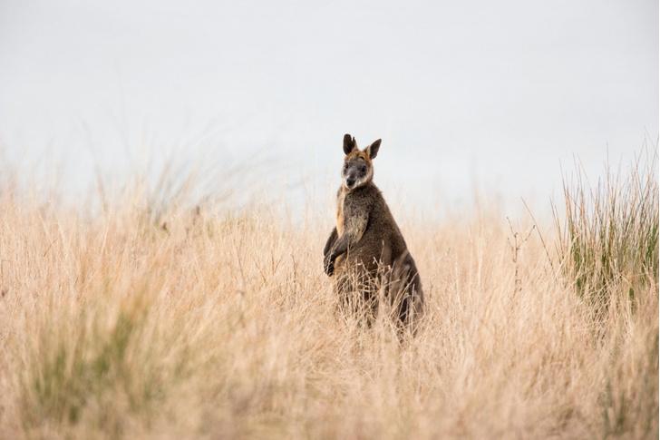 Фото №1 - Самки одного из видов кенгуру способны к зачатию во время беременности