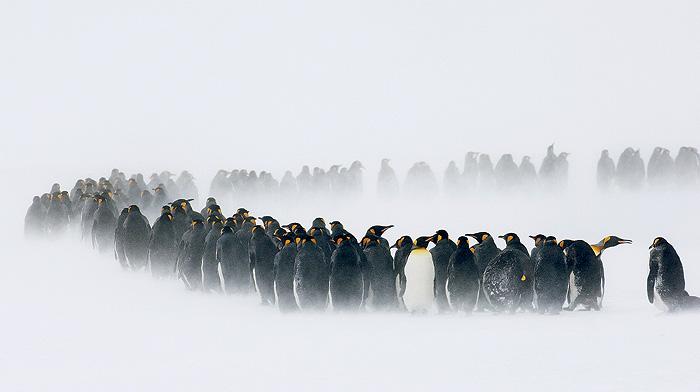 Фото №2 - Почему пингвины не летают