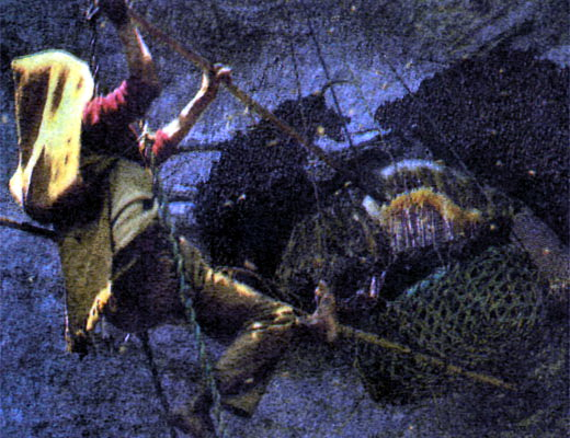 Фото №1 - Медовая охота