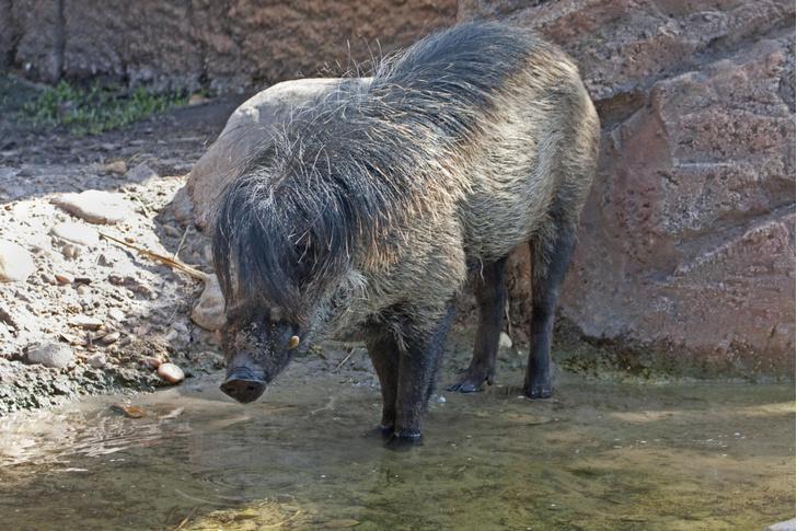 Фото №1 - Свиньи используют орудия труда, выяснили ученые