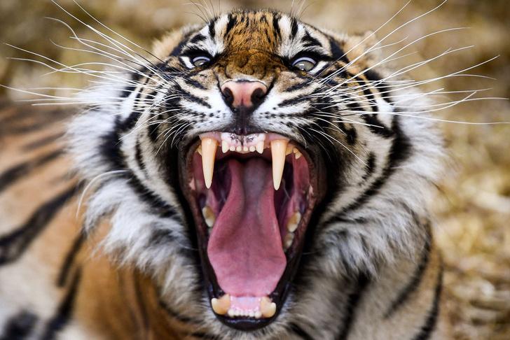 Фото №1 - Тигриное утро
