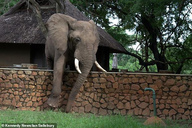 Фото №2 - Проворный слон ловко перелез через забор ради фруктов (видео)