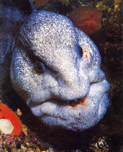 Фото №1 - Квазимодо морских глубин