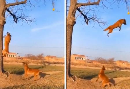 Собака показывает другой собаке, как она умеет взбегать на дерево и «летать» с высоты (видео)