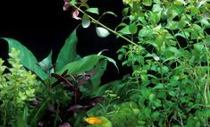 Содержание и уход за сиамским водорослеедом