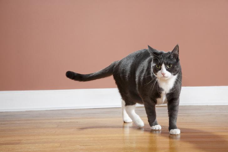 Фото №1 - Ученые выяснили, почему у кошек на лапках «носочки»