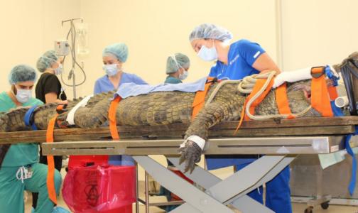 Фото №1 - Во Флориде крокодилу сделали операцию, чтобы достать кроссовок из желудка