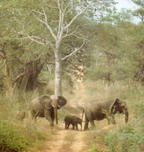 Фото №1 - Слоны умеют обходить мины
