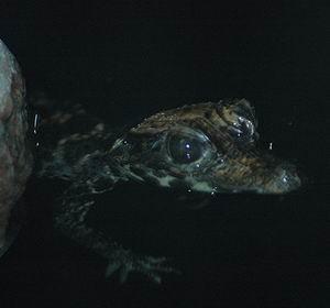 Фото №1 - В Сарове с верхнего этажа упал аллигатор