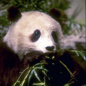 Фото №1 - Гигантская панда была маленькой