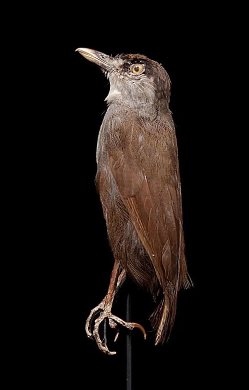 Фото №1 - На Борнео нашли «исчезнувшую» 180 лет назад птицу