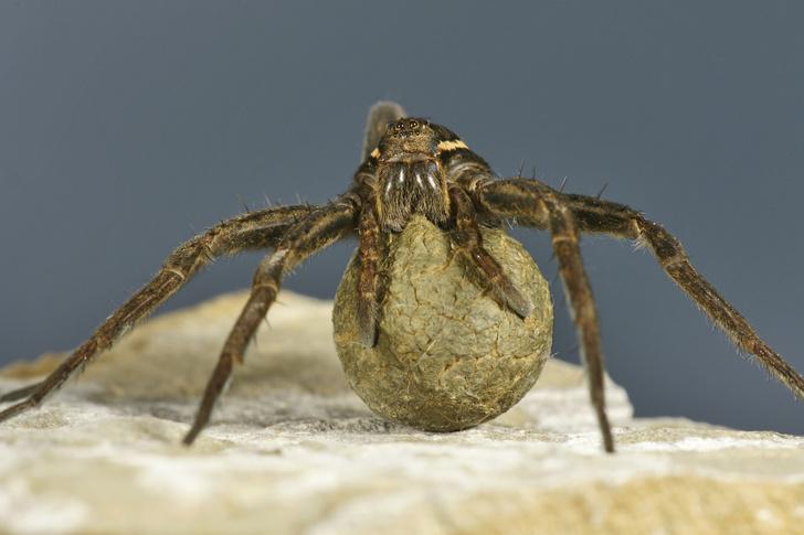Фото №3 - Зачем людям пауки? 3 удивительных причины