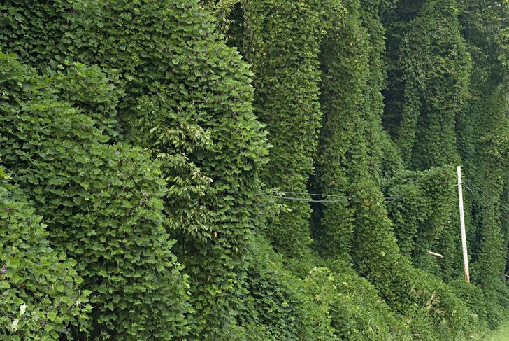 Фото №4 - Экологические террористы: 7 растений и животных, которые оказались феноменальными захватчиками