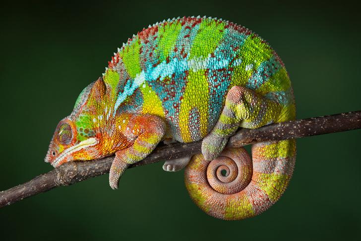 Фото №1 - Биофизики объяснили, почему хамелеон меняет цвет