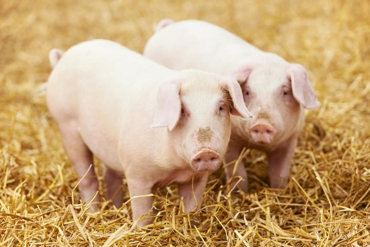 Фото №1 - Свиньи оказались так же умны, как собаки или приматы
