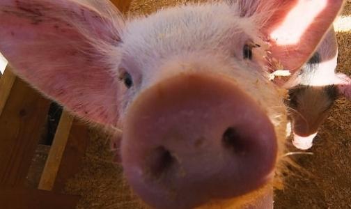 Фото №1 - На ярмарке торговали мясом, зараженным чумой свиней