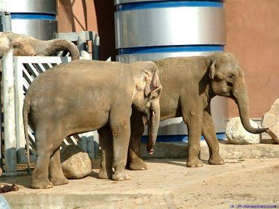 Фото №1 - В Московском зоопарке умерла слониха