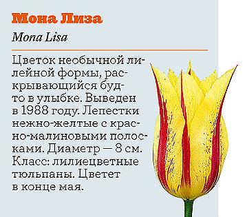 Фото №8 - Самые популярные сорта тюльпанов