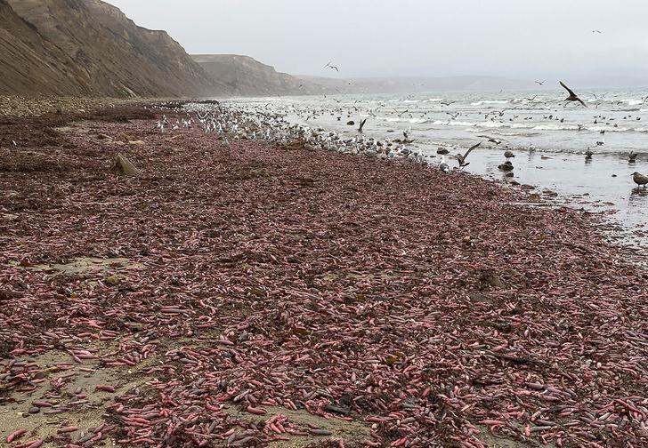 Фото №1 - В Калифорнии на берег выбросило тысячи пульсирующих морских червей (фото и видео)