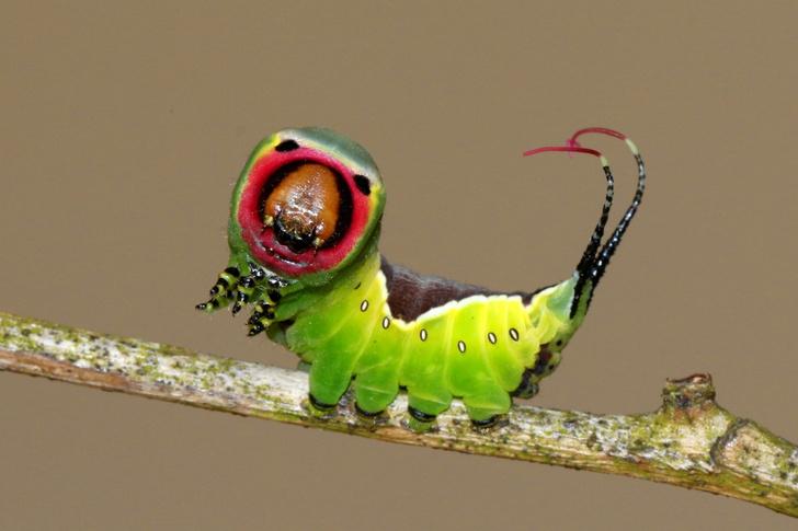 Фото №1 - Сердитая гусеница