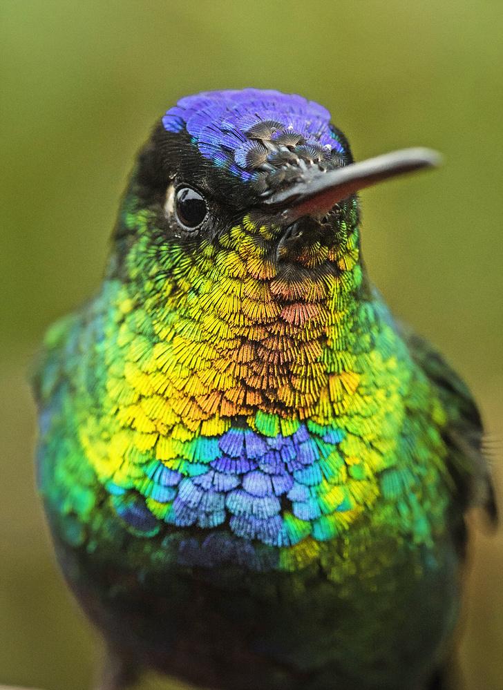 Фото №6 - Маленькая жизнь: как колибри стали настоящими супергероями