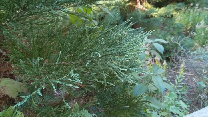 Фото №11 - Генералы среди деревьев: 10 удивительных фактов о гигантских секвойях