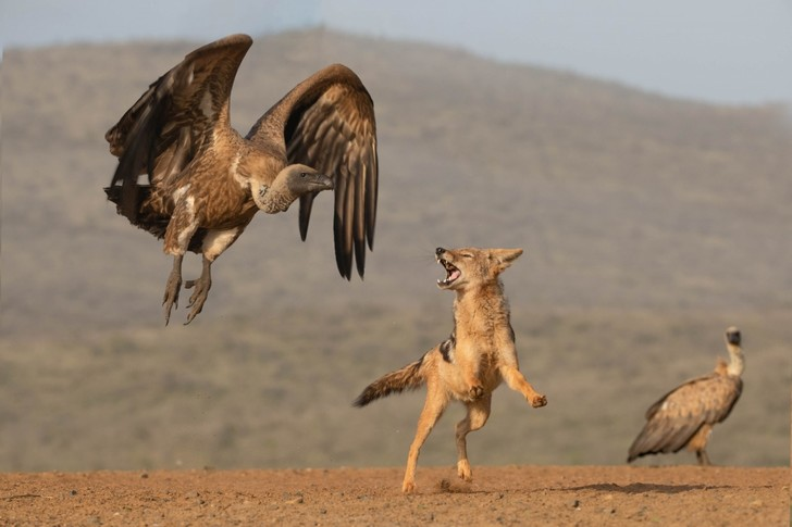 Фото №1 - Шакал против стервятников
