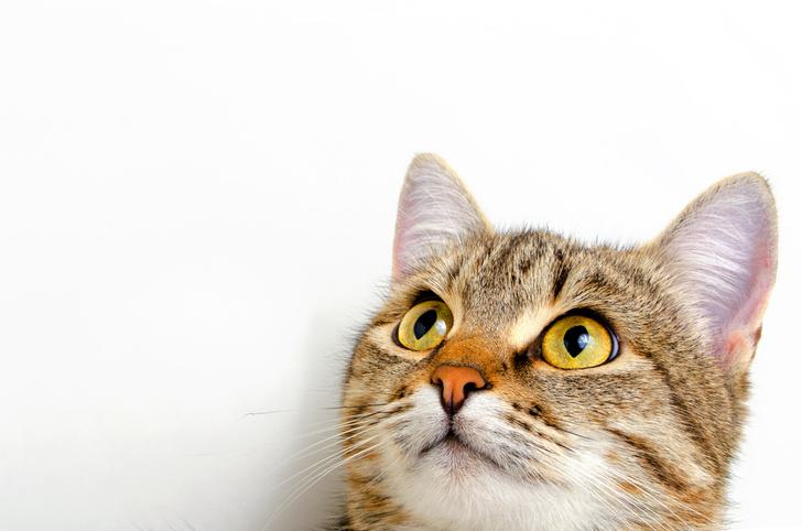Фото №1 - Ученые создадут словарь кошачьего языка