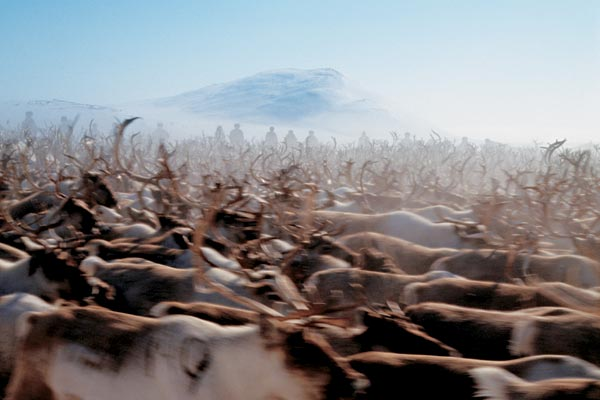 Фото №1 - Великое кочевье северного оленя