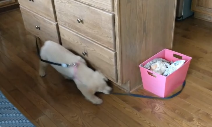 Фото №1 - Щенок ретривера бегает вокруг стола, пытаясь поймать собственный поводок (видео)
