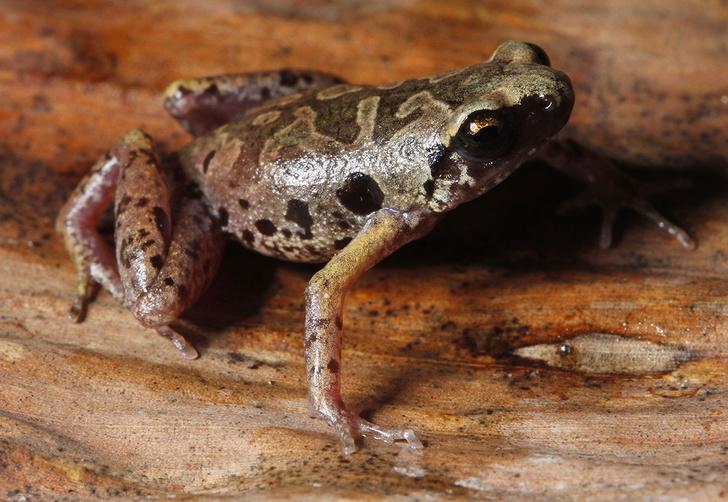 Фото №1 - Российские ученые открыли новый вид «лягушек в камуфляже»