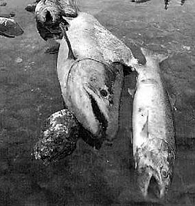 Фото №1 - Массовый мор в реке Ича на Камчатке