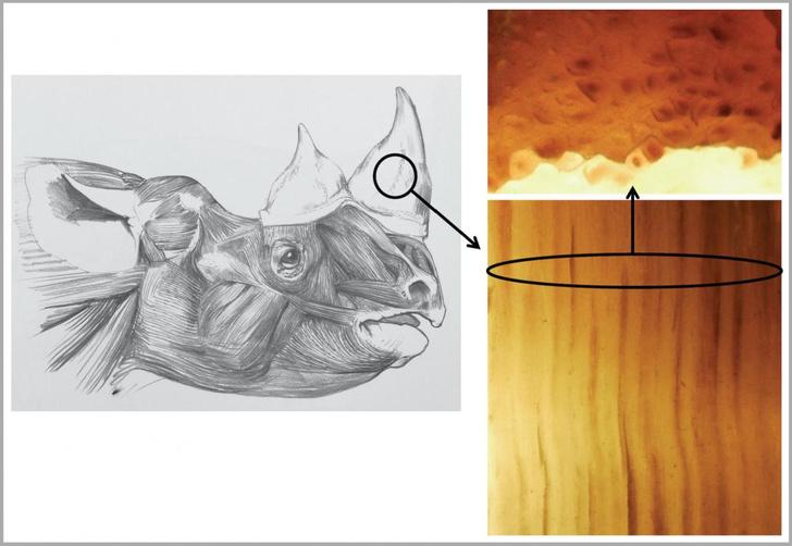 Фото №1 - Придуман необычный способ защиты носорогов