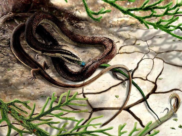 Фото №1 - Древнейшую змею с четырьмя конечностями случайно обнаружили в музее