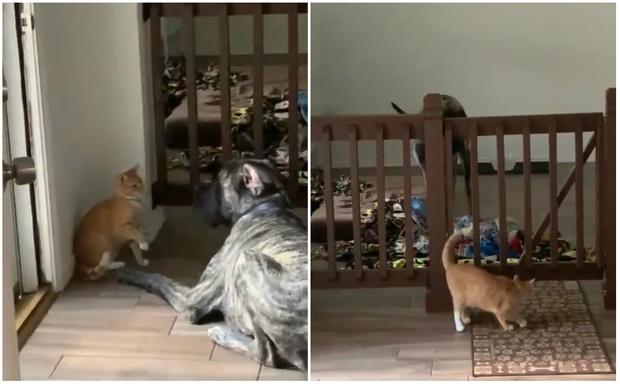 Фото №1 - Кошка виртуозно заманивает собаку в ловушку и закрывает выход (видео)