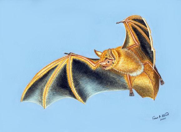 Фото №1 - В Африке открыт новый вид летучих мышей