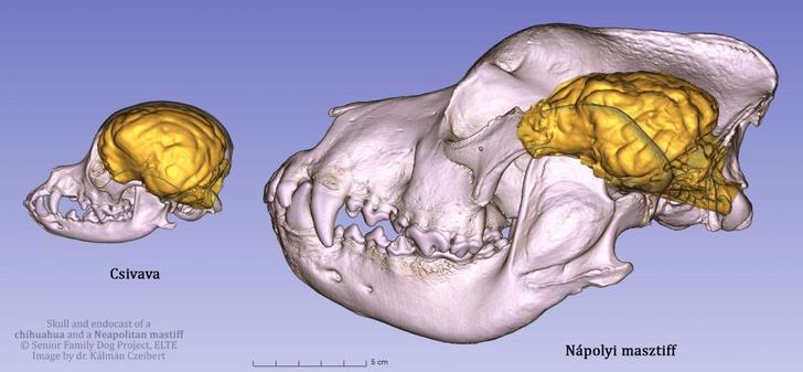 Фото №1 - Ученые сравнили мозг мастифа и чихуахуа