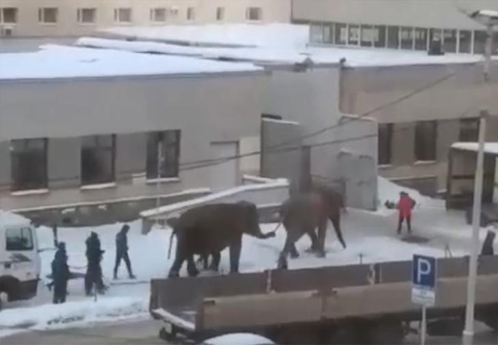 Фото №1 - В Екатеринбурге слоны удрали от дрессировщиков, чтобы поваляться в снегу (видео)