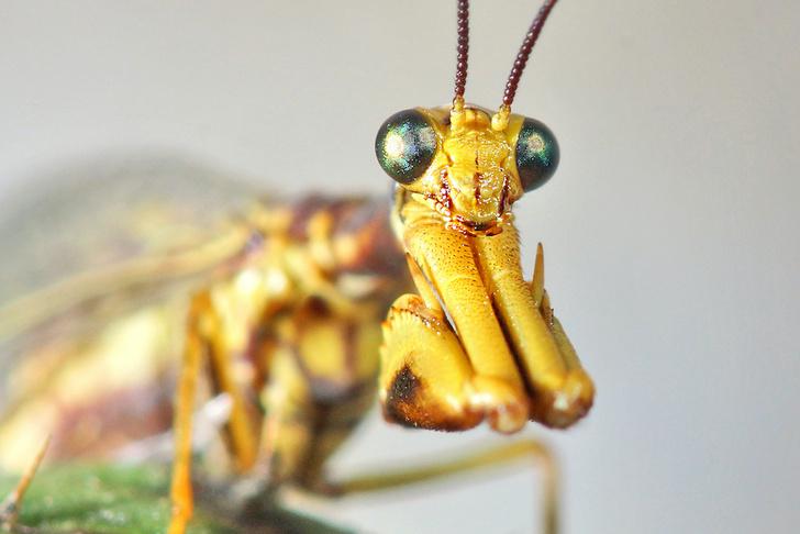 Фото №2 - Двойник богомола: как выглядит и живет мантиспа — одно из самых изощренных насекомых-паразитов