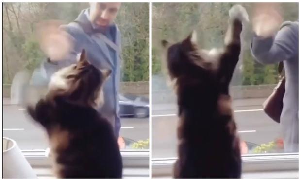 Фото №1 - Кот встречает и провожает человека за окном, смешно махая ему лапами (видео)