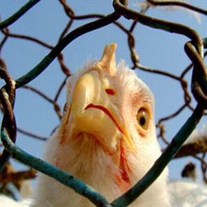 Фото №1 - Птичий грипп перестанет быть страшным