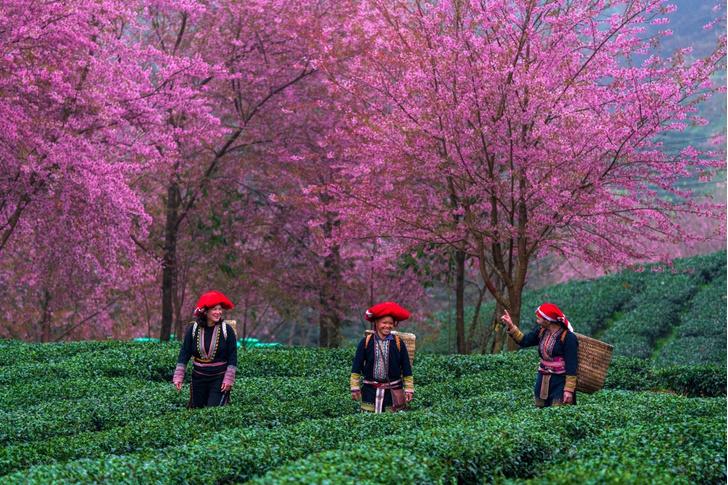 Фото №1 - Сбор чая