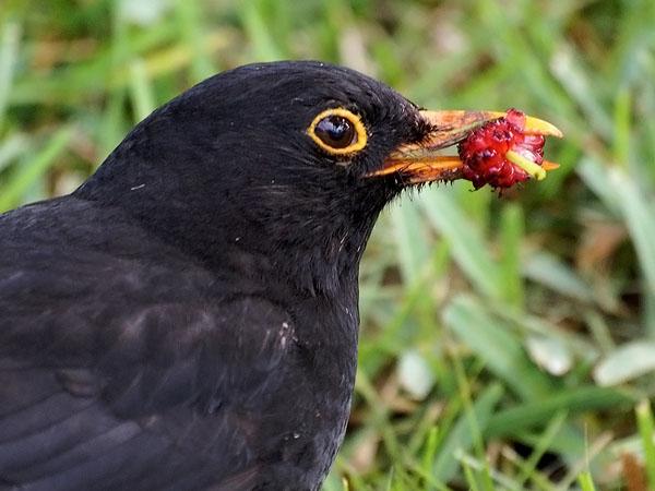 Фото №1 - Птичьи песни с чужого голоса