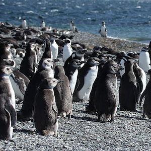Фото №1 - Жара убивает пингвинов