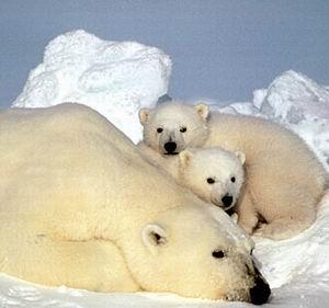 Фото №1 - Две трети полярных медведей исчезнет к 2050 году