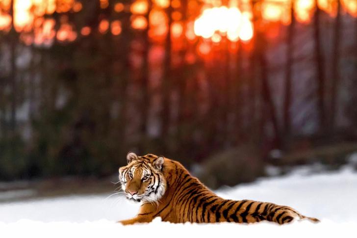 Фото №1 - Тигр отдыхает на закате